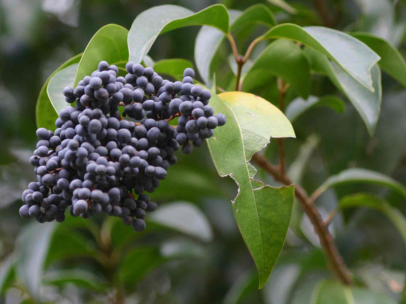 Chinese Wax-leaved Privet