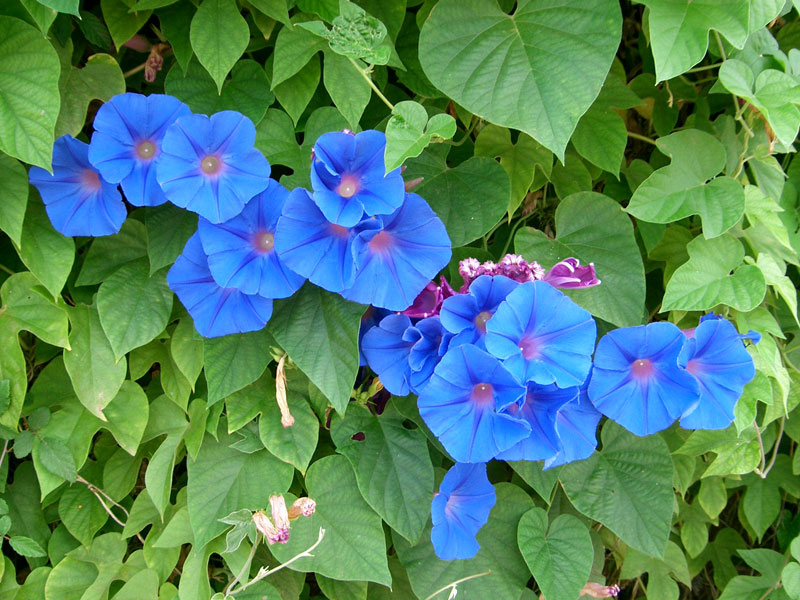 Morning Glory (Ipomoea indica)